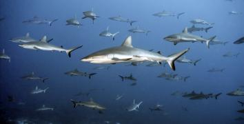 Grey Reef Sharks in Tahiti