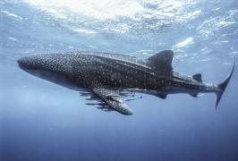 Whale Shark in Kenya
